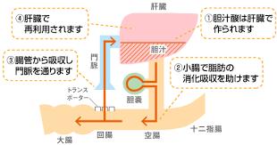 腸肝循環の説明図