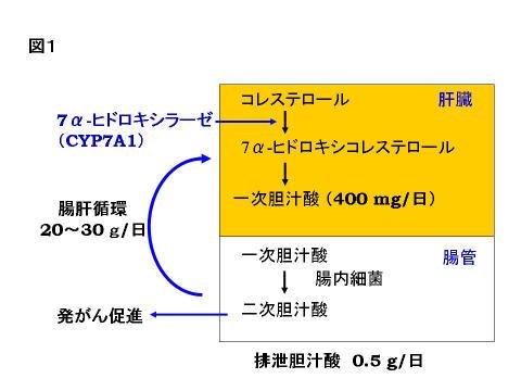 腸内細菌により二次胆汁酸が作られる過程を示した図