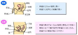男性と女性の尿道の長さの差異を示した図