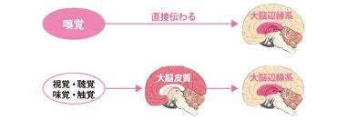 嗅覚は鼻の嗅覚受容体から大脳皮質を経ずに情報がダイレクトに感情を司る大脳辺縁系に伝わることを示す図
