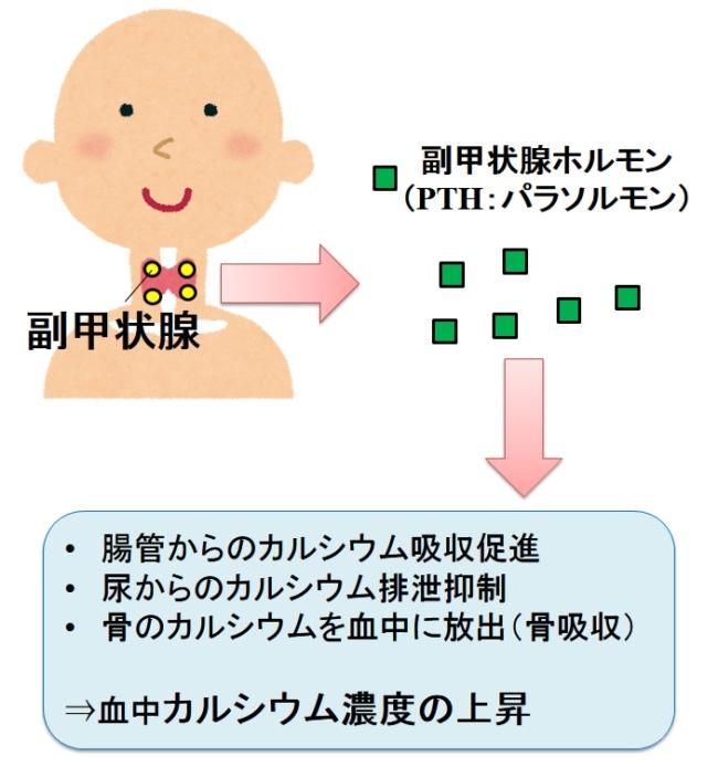 PTHの働きをまとめた図