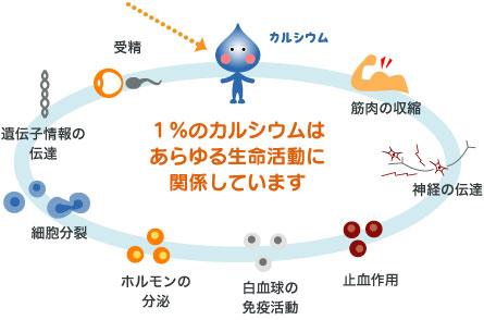 カルシウムのさまざまな機能についてまとめた図
