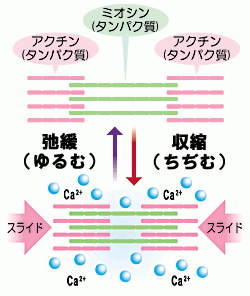 筋収縮への関与を説明する図
