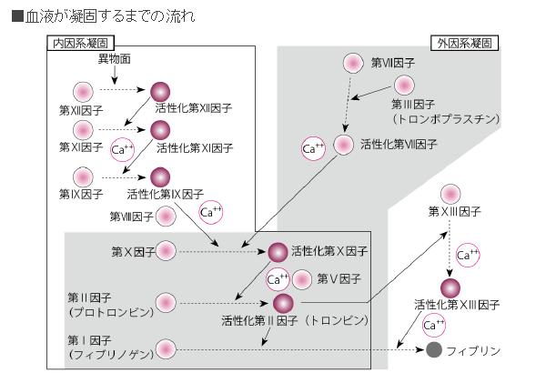 血液凝固への関与を説明する図