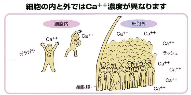 カルシウムは細胞外に多く存在し 細胞内には1/10000しか存在しないことを示す図