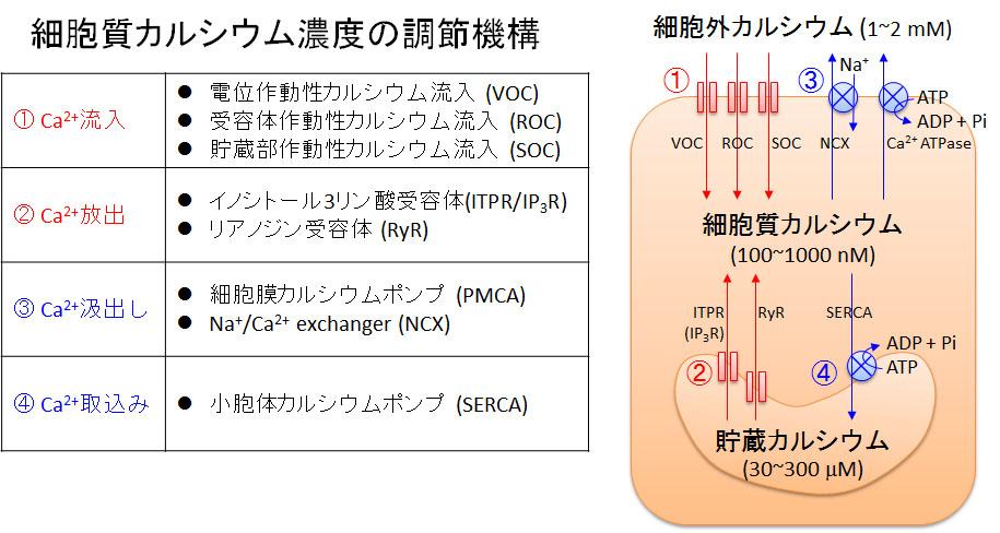 細胞内カルシウム濃度調節機構についてまとめた図