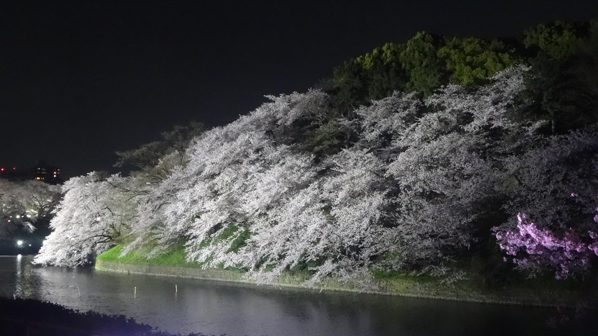 千鳥ヶ淵の夜桜1
