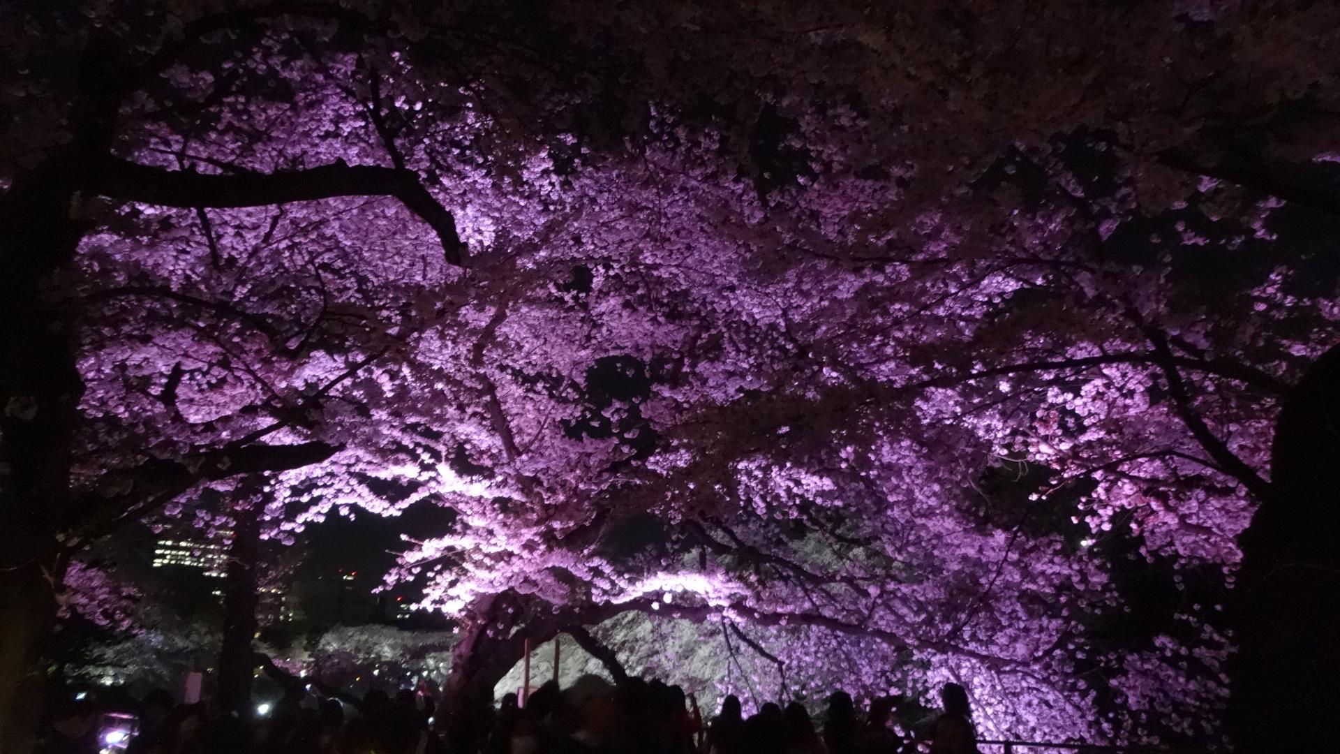 幻想的な雰囲気のライトアップされた桜