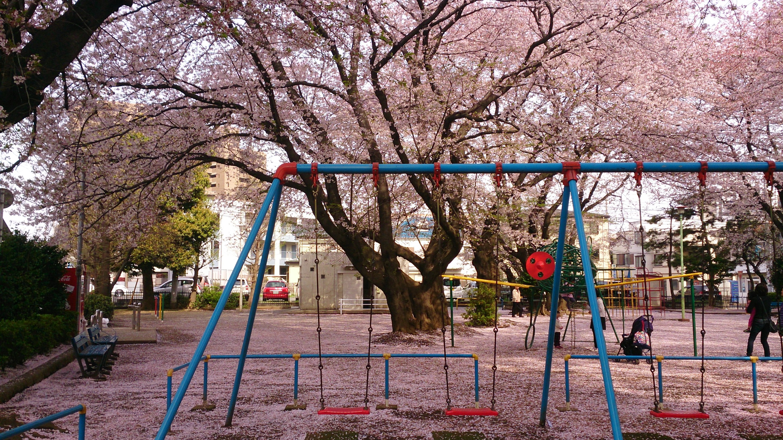 桜の花びらで地面にピンクの絨毯が敷き詰められたように見える公園