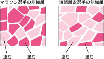 筋肉のなかにモザイク状に分布している赤筋と白筋