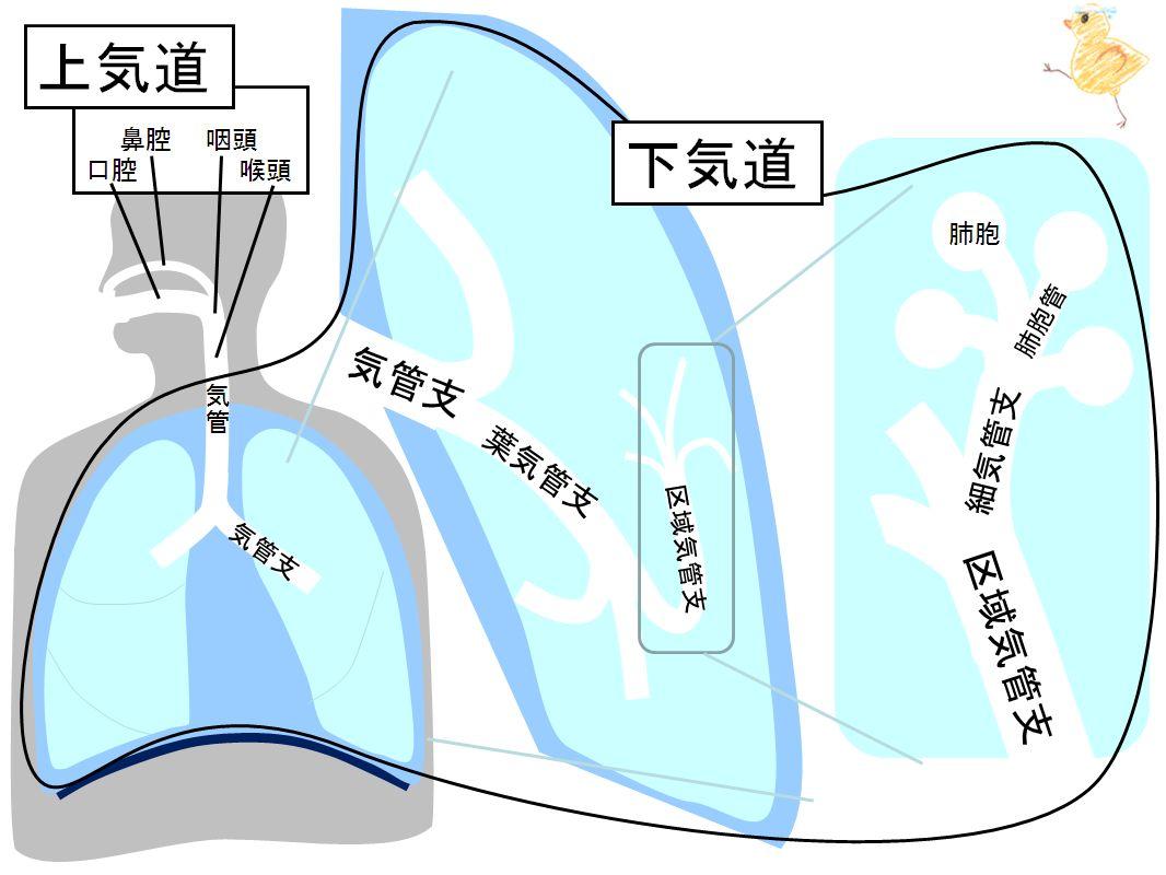 下気道の詳細を示す図