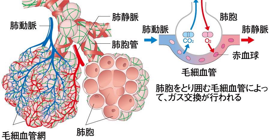 肺胞の壁に存在する毛細血管の詳細を示す図