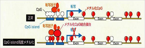 DNAの高メチル化