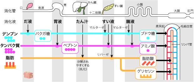 3大栄養素が消化される部位をまとめた図