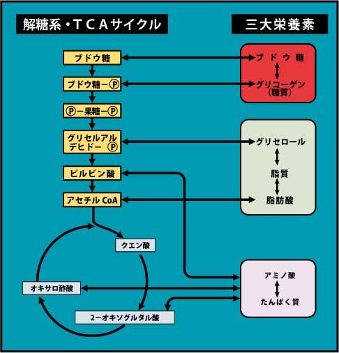 3大栄養素とTCA回路のつながりを示す図