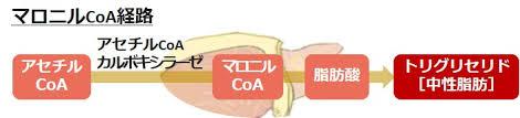 糖質がアセチルCoA→マロニルCoAを経て中性脂肪になり 脂肪に蓄えられることを示した図