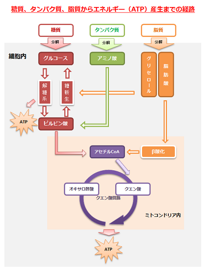 三大栄養素がアセチルCoAに変換されTCA回路に入ることを示す図