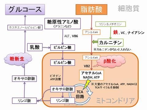 糖源性アミノ酸からグルコースが糖新生される過程を示した図