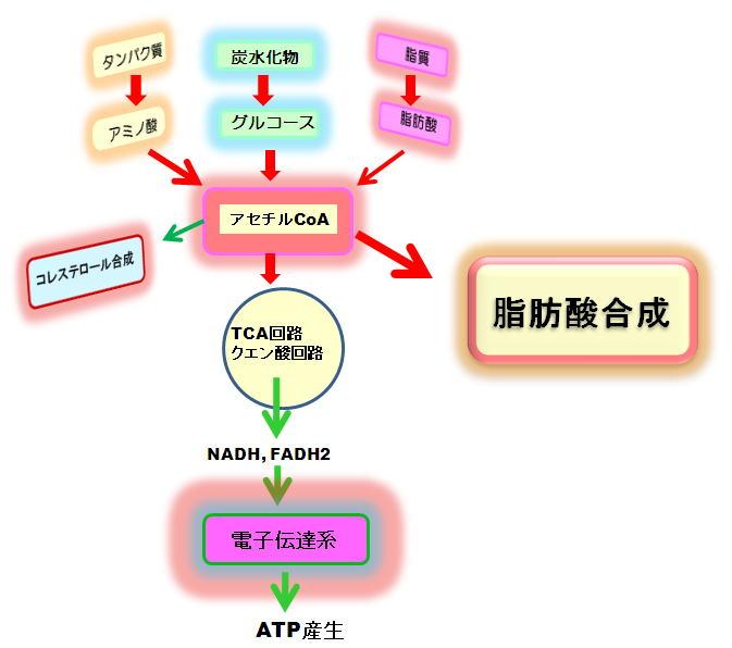 ケト源性アミノ酸から脂肪酸が作られる過程を示した図