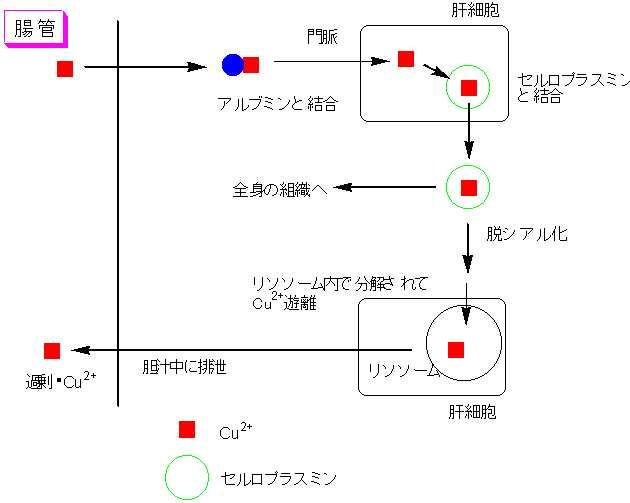 銅がセルロプラスミンと結合して体内を移動することを示す図