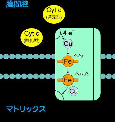 チトクロムc酸化酵素の補因子として働くことを示す図