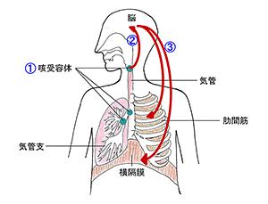 咳嗽反射の機序を説明する図