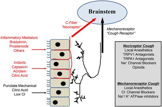 気管から脳に咳を引き起こす情報が伝わる仕組みの説明図