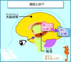 海馬について説明する図