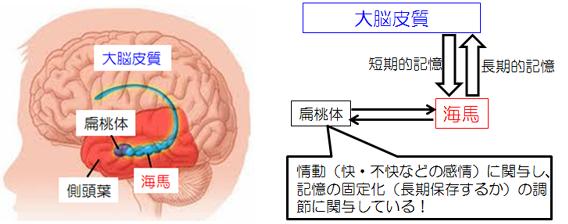海馬と扁桃体について説明する図