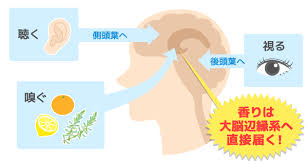 嗅覚からの情報は 直接 海馬や扁桃体に伝わることを示す図