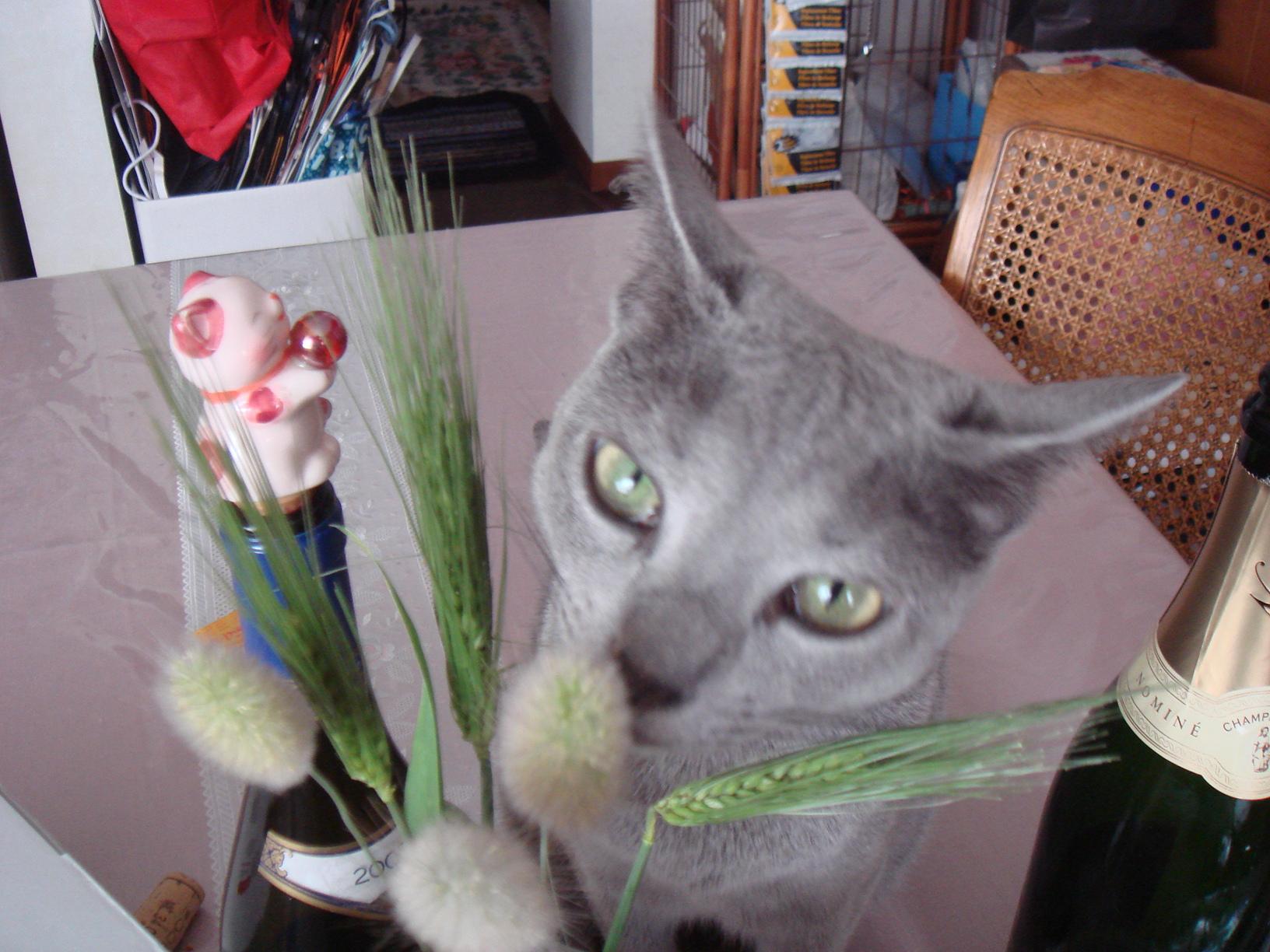 ネコじゃらしを齧るデイジー