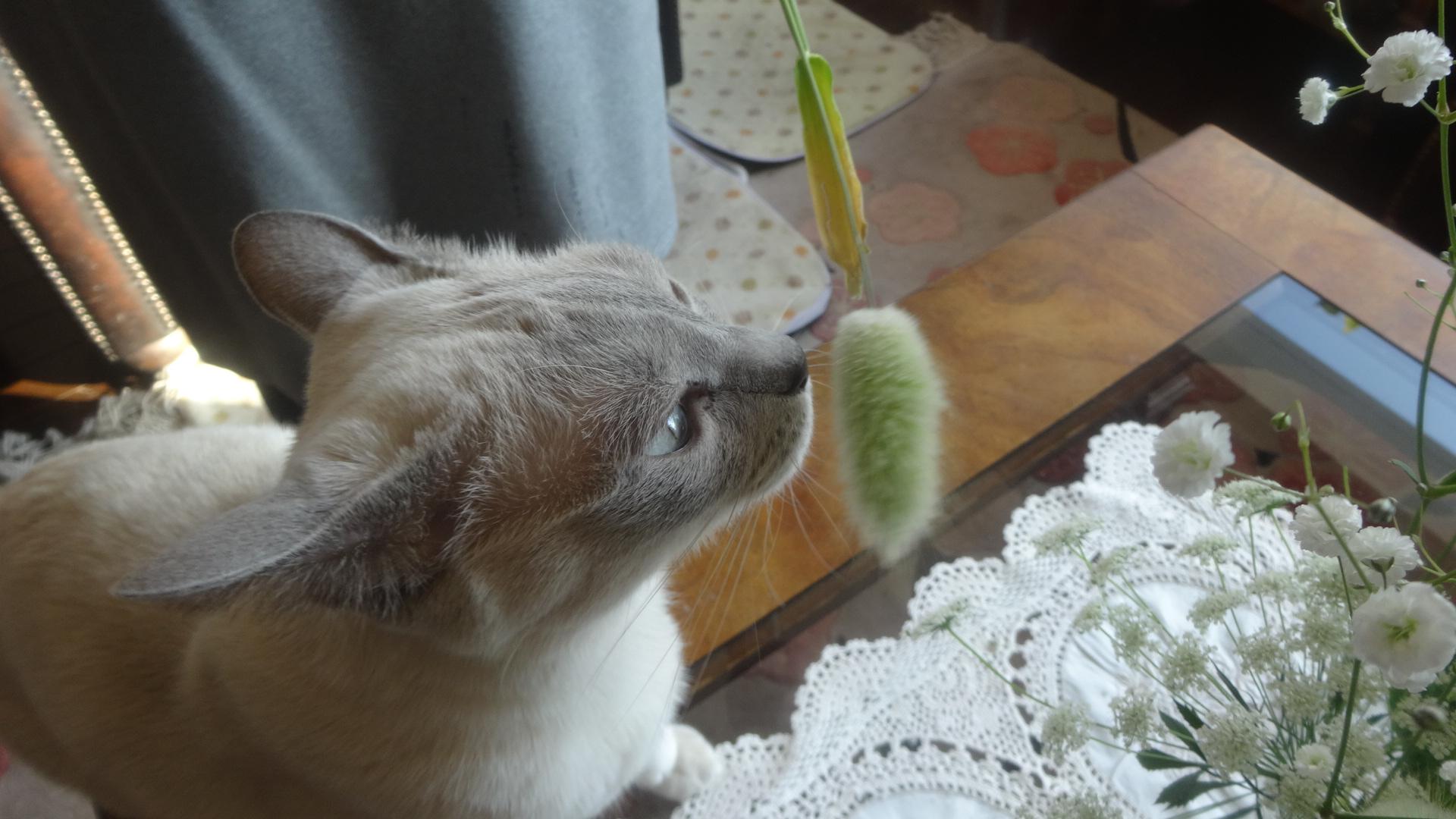 ネコじゃらしを齧る楓