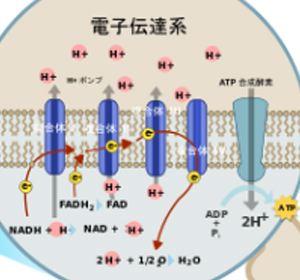 電子伝達系でATPが産生される機序を示す図