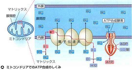 膜間腔とマトリックスの間にプロトン(H+)濃度差(電気化学的勾配)が構成される過程を示す図