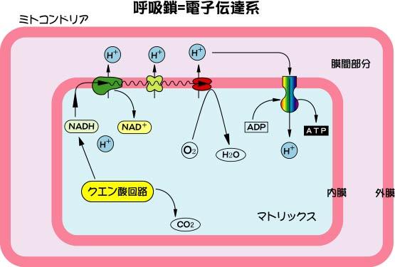 電子伝達体の概略図