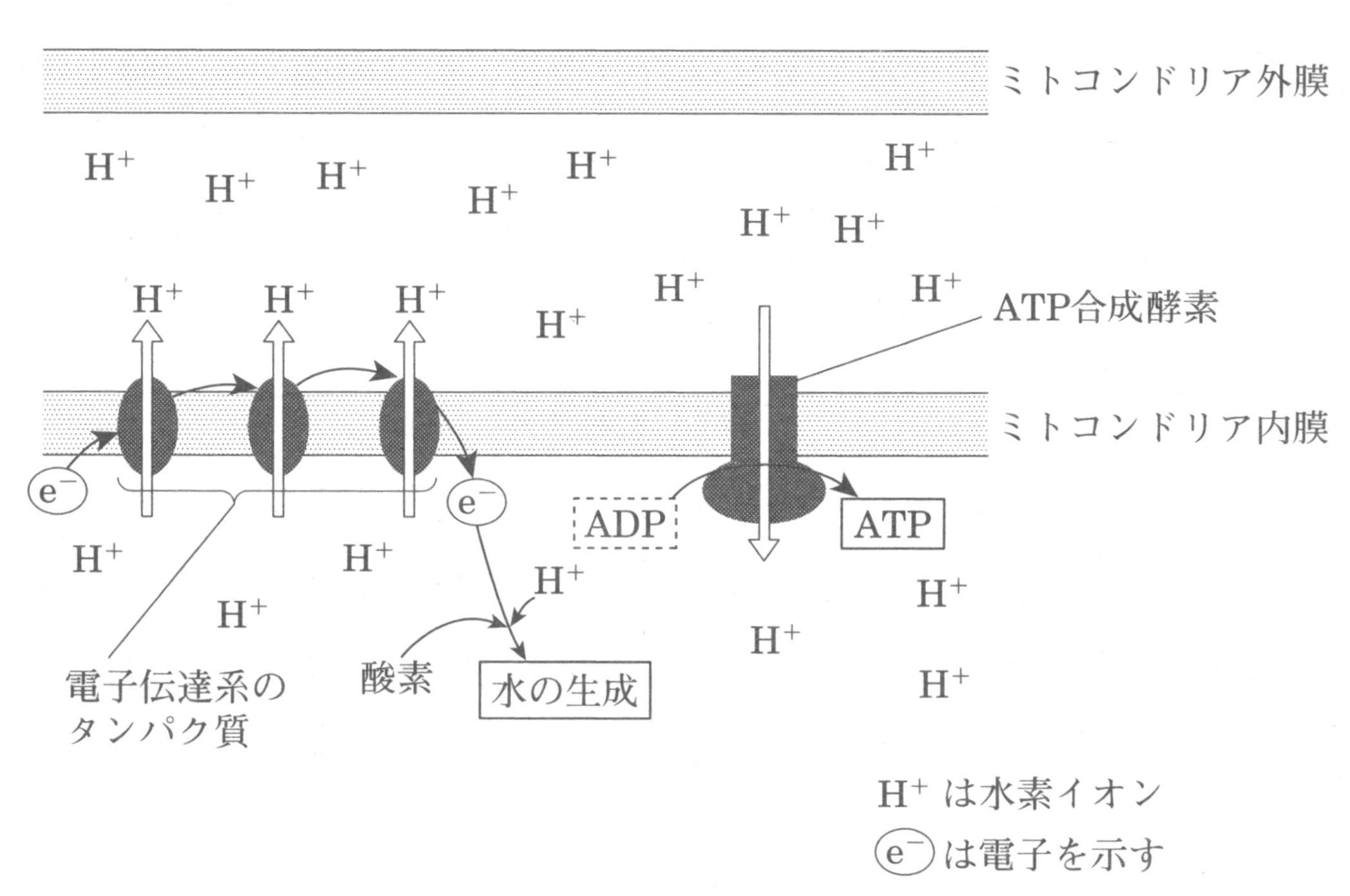 電子伝達のが概略図