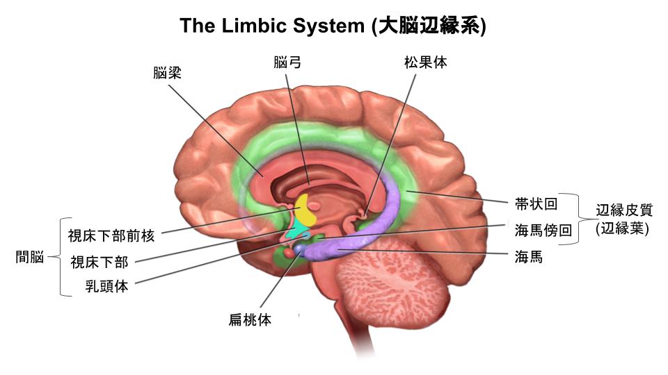 大脳辺縁系の解剖図