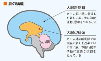 皮質と辺縁系の関係を示す図