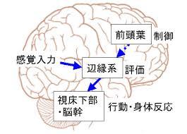 辺縁系と視床下部 基底核の関係を示す図