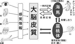 記憶に関する海馬 扁桃体の働きを示す図