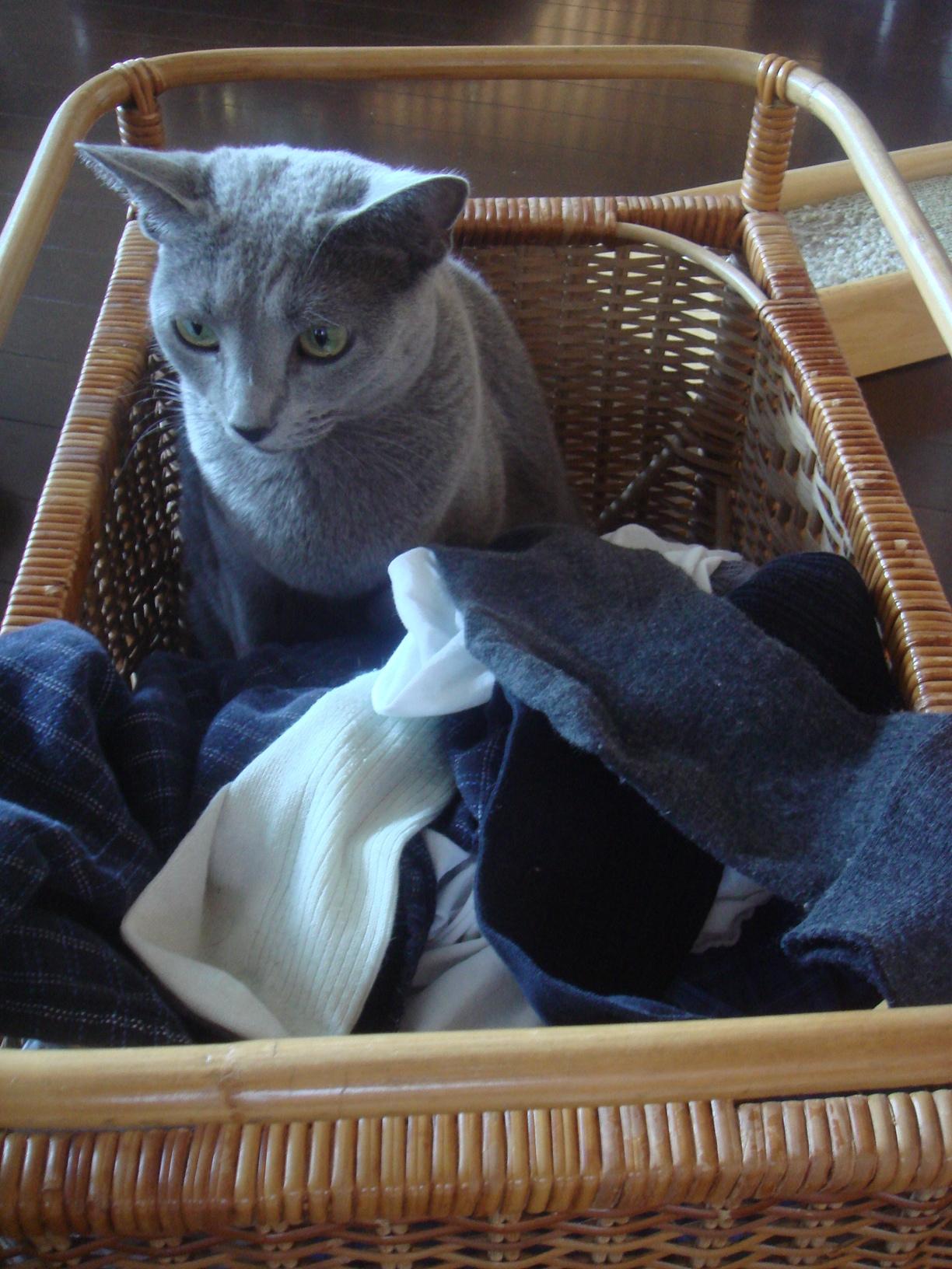 乾燥した洗濯物が入ったカゴに入りくつろぐデイジー