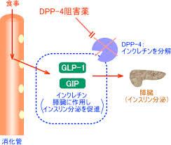 DPP-4によるインクレチン分解を示す図