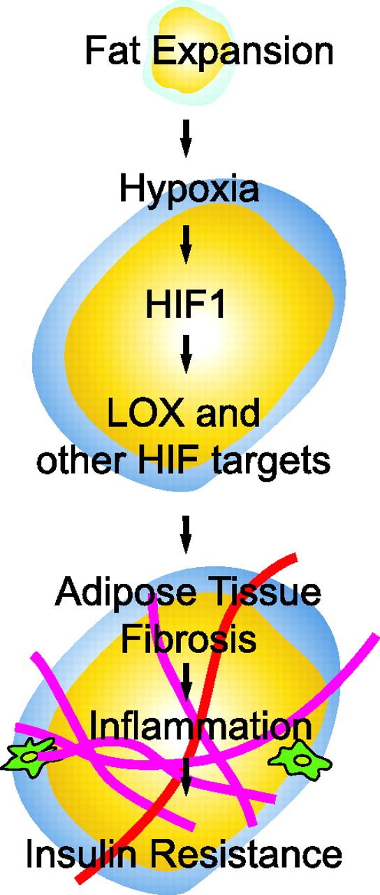 脂肪組織で生じる慢性炎症が異所性脂肪蓄積を誘導する機序を説明する図