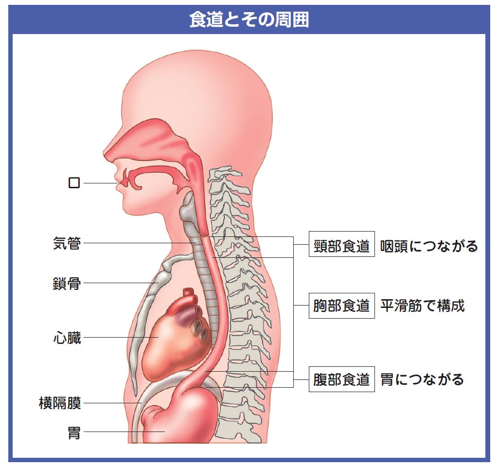 食道の周囲に位置する臓器を示した解剖図