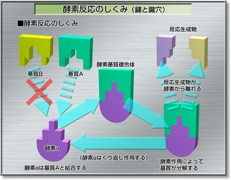酵素反応の鍵と鍵穴について説明した図