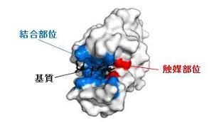 酵素の触媒部位 結合部位について説明した図