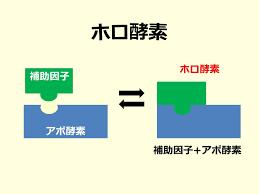 アポ酵素 ホロ酵素について説明した図