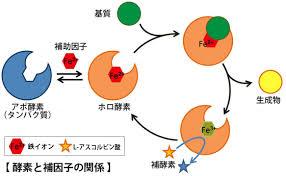 酵素と補助因子の関係を示した図