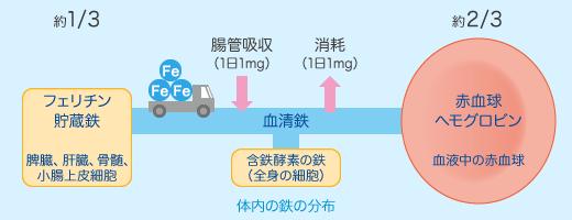体内の鉄の動態とフェリチンの関係を示す図