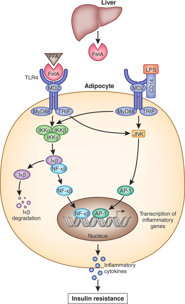feta1と遊離脂肪酸による炎症性サイトカイン産生増強 インスリン抵抗性誘導の機序の図示